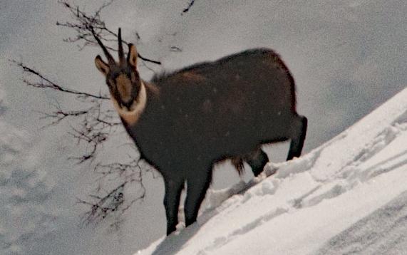 Prapic et les chamois m/ Randos- champsaur