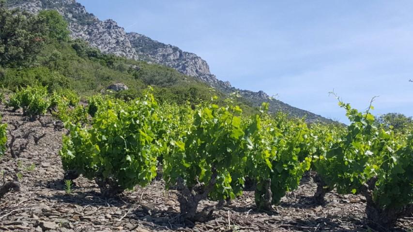 Balades découvertes des vignobles des Corbières sur la demi-journée