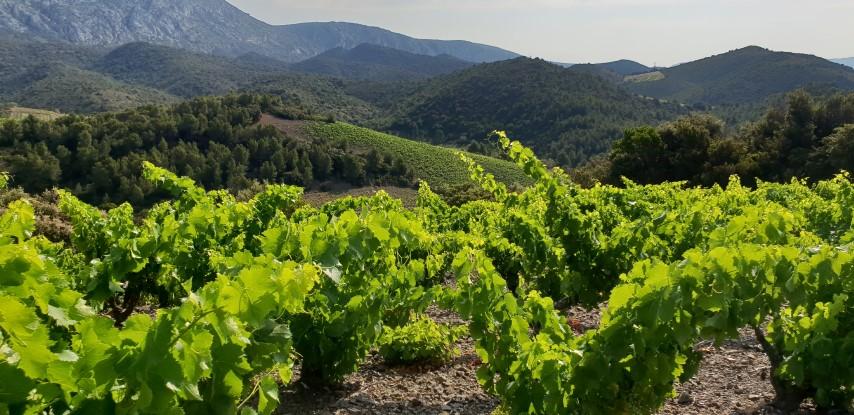 Vignobles des Pays Cathares, découverte à la demi-journée