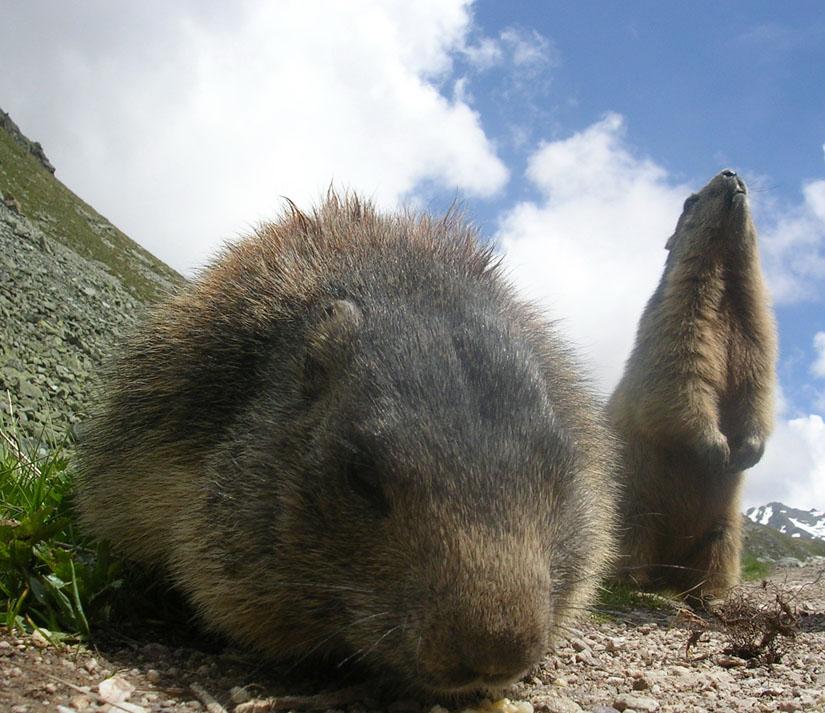 Le goûter des marmottons